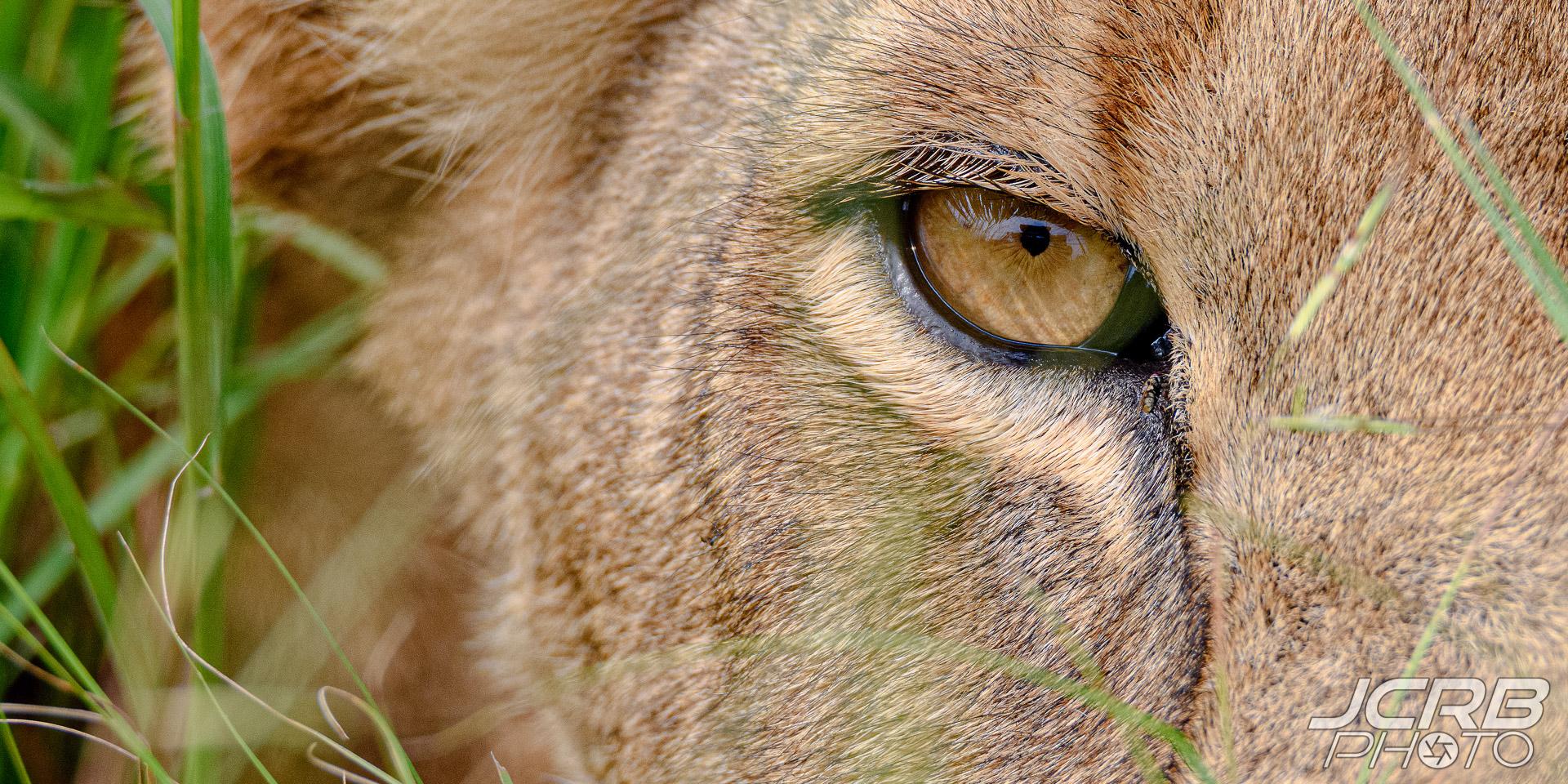Lion, Lion Eye, Closeup Lion Eye, Lioness, Uganda